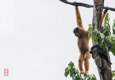 IMG_0858 Nomascus gibbon