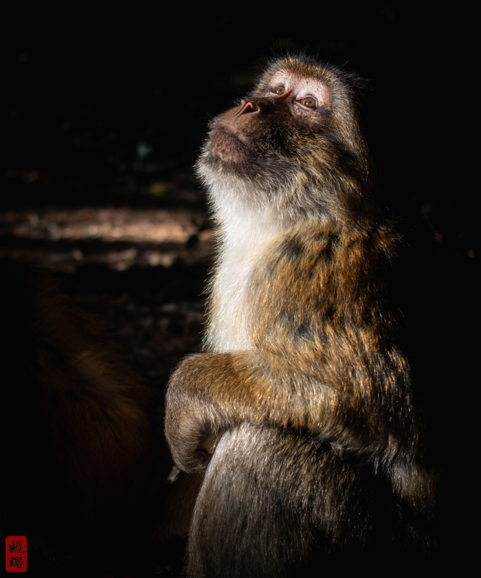 IMG_9588 Azrou - Barbary macaque
